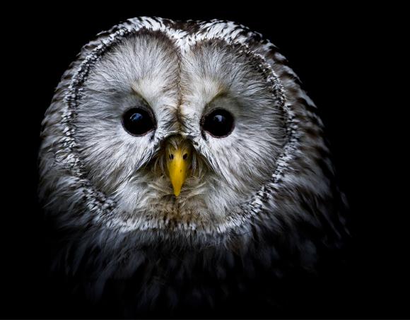 owl_580x453px